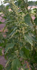 Chenopodium album, or Fat Hen