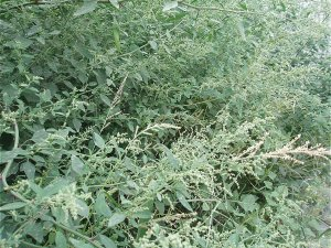 Goosefoot, or fat hen, growing in the wild