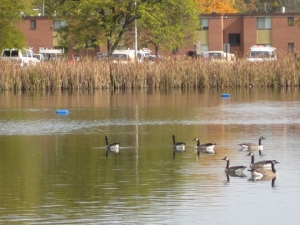Geese on Goldsworth Pond, Western Michigan University