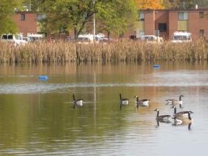 Geese on Goldsworth Pond, Western Michigan University