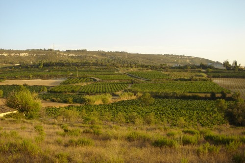 Vines in the foothills of the Penedès, Catalonia