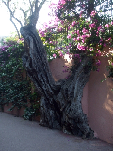 Olive tree incorporated into a wall along the seawalk between Beaulieu-sur-Mer and St-Jean Cap Ferrat