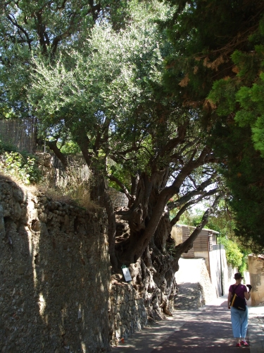 A thousand-year-old olive tree at Roquebrune