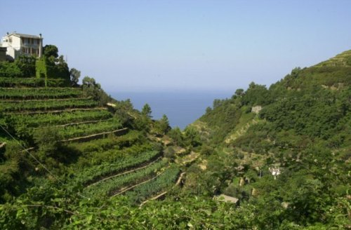 Terraces at at Corniglia