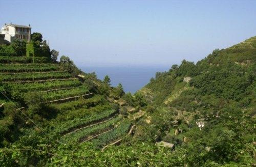 Terraces at at Corniglia