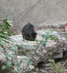 A cat in the Roman baths, Taormina