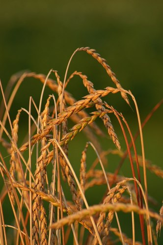 Spelt growing ready for harvest