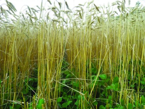 Organic winter wheat growing with red clover in an experiment by the Moses Organic Project